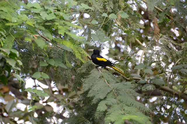 The Yellow-Winged Cacique Bird