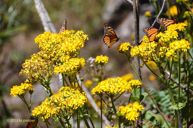 Monarch on yellow flowers