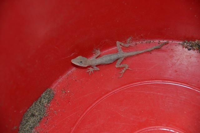 Rescue gecko Sayulita Mexico