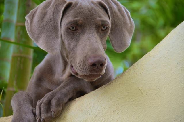 Scooby_Weimaraner pup