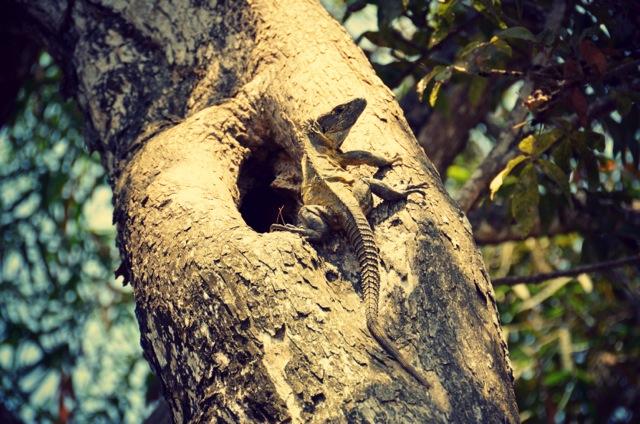 Iguana Puesto del Sol