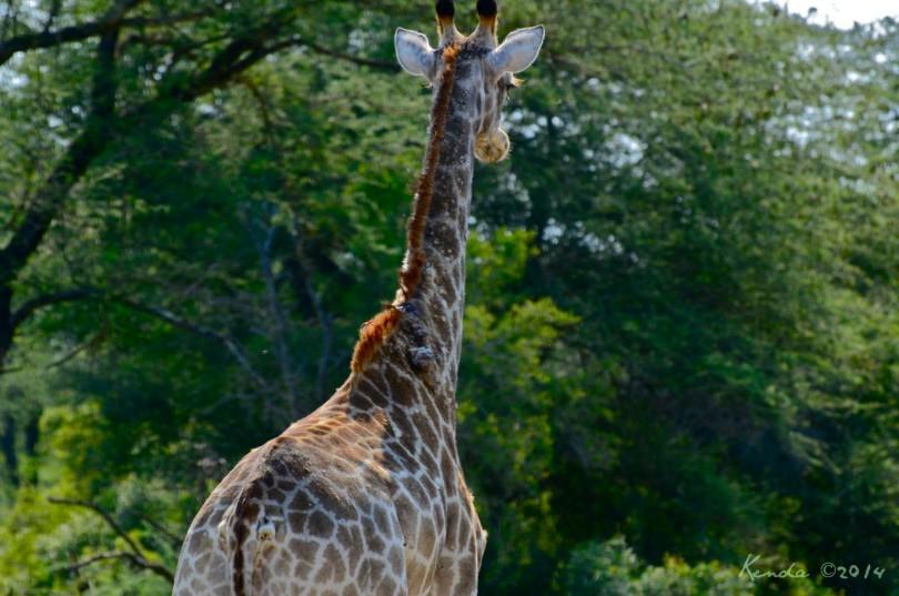 Giraffes at Kruger