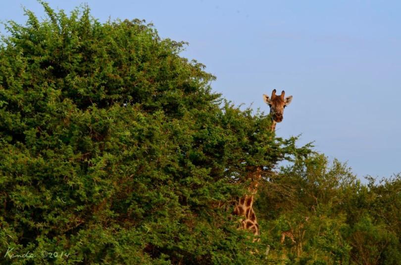 Giraffe at Kruger