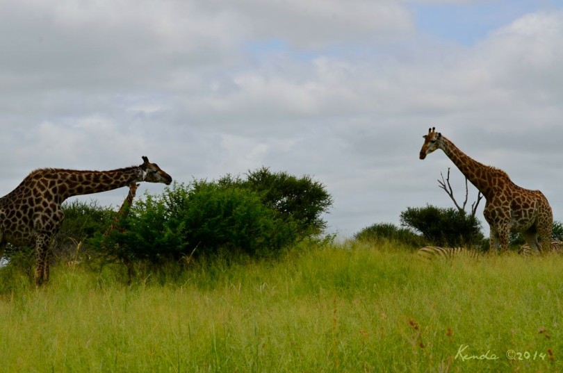 Sweet Thorn Acacia and giraffes at Kruger