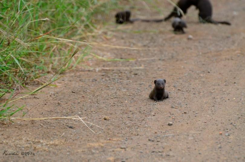 baby dwarf mongoose