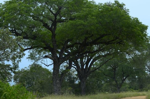 Combretum Tree