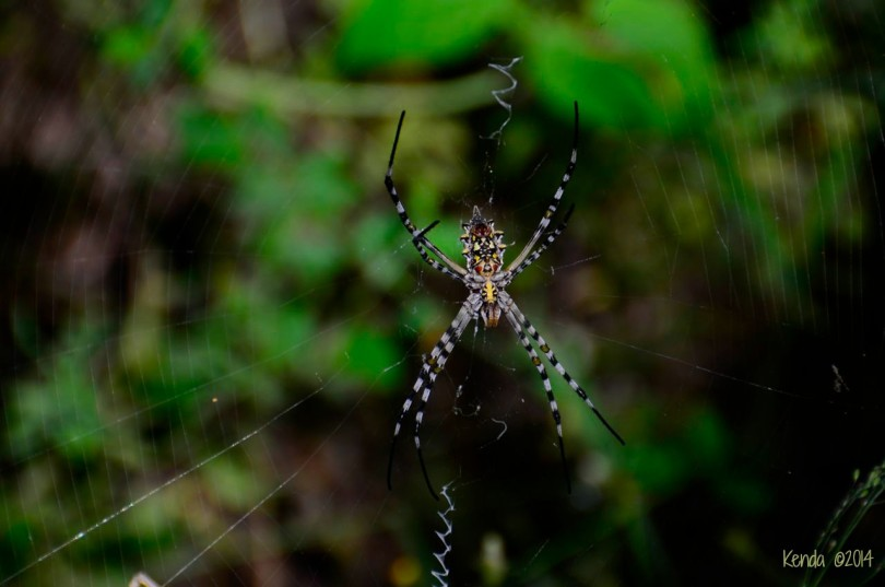 Golden Orb-Web Spider (Argiope)