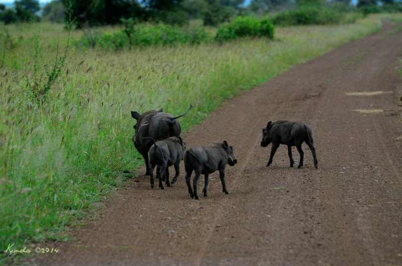 Mama Warthog and her baby piglets