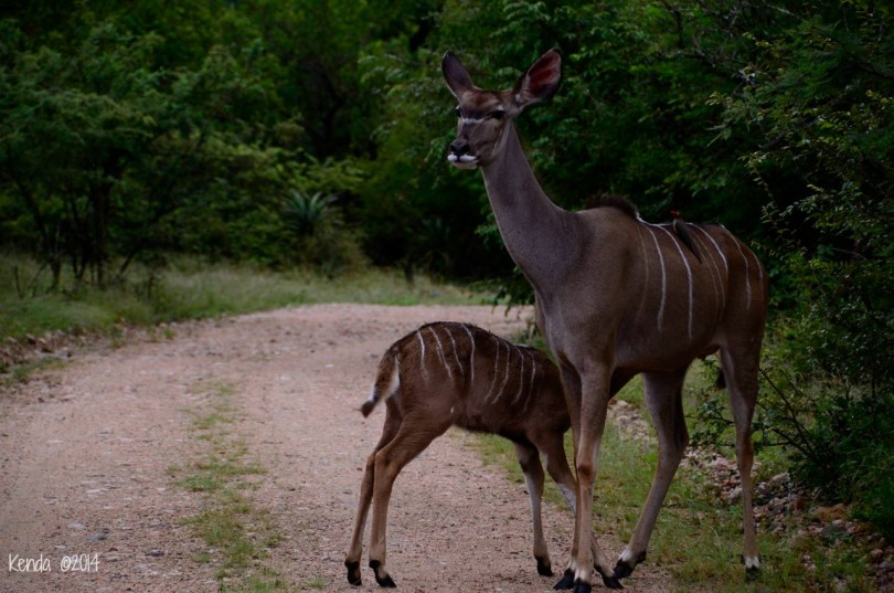 Kudu and fawns Marloth Park South Africa