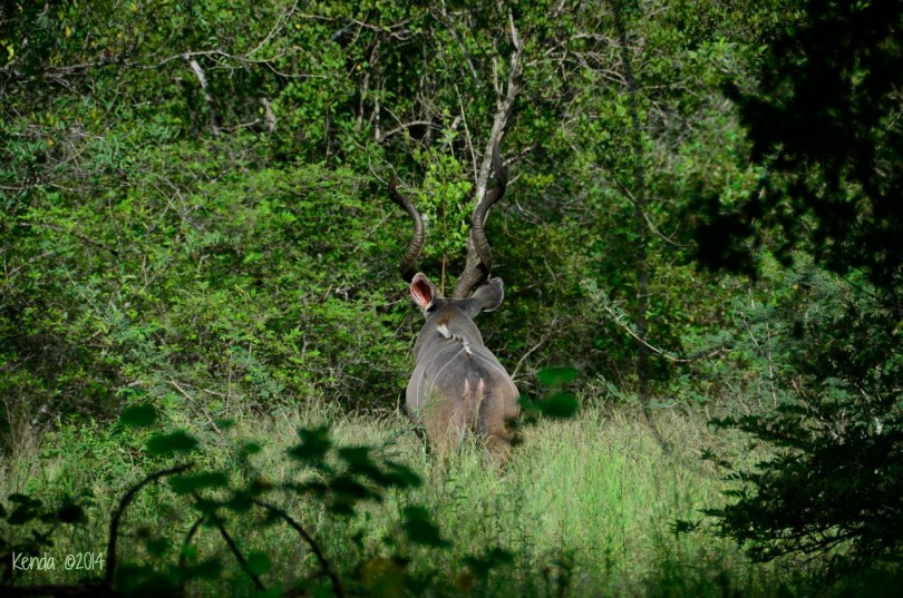 Massive male Kudu