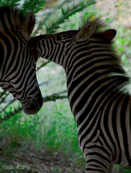 Marloth Park, South Africa: When Zebras Visit