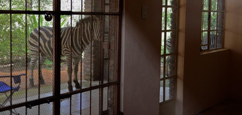 Zebras in Marloth Park
