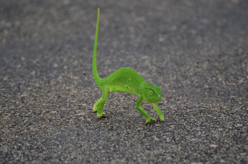 chameleon Kruger National Park