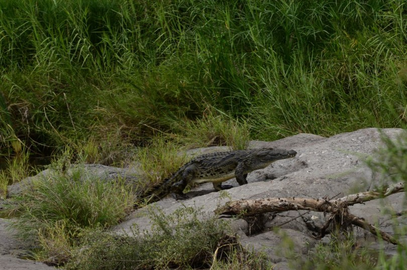 Crocodile at Kruger