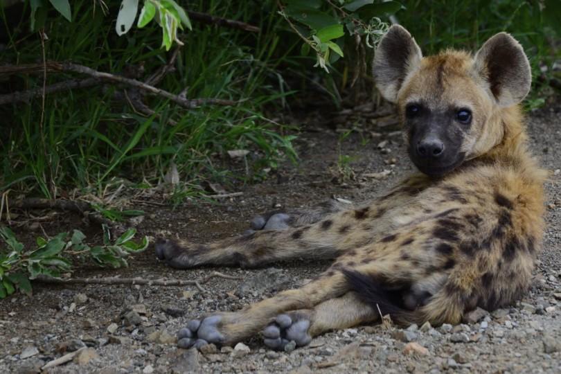 Spotted Hyaena Kruger