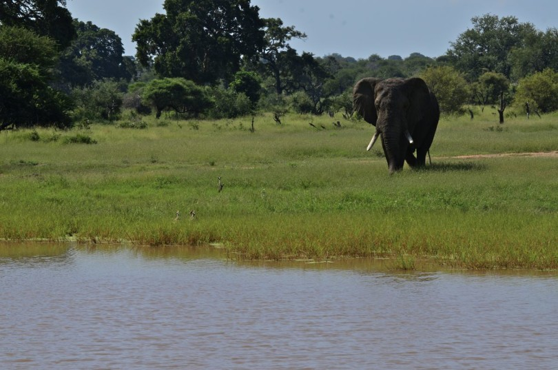 Elephant walking to watering hole