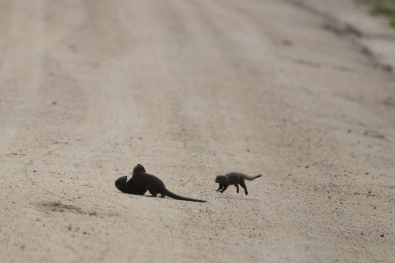 Dwarf Mongoose pups