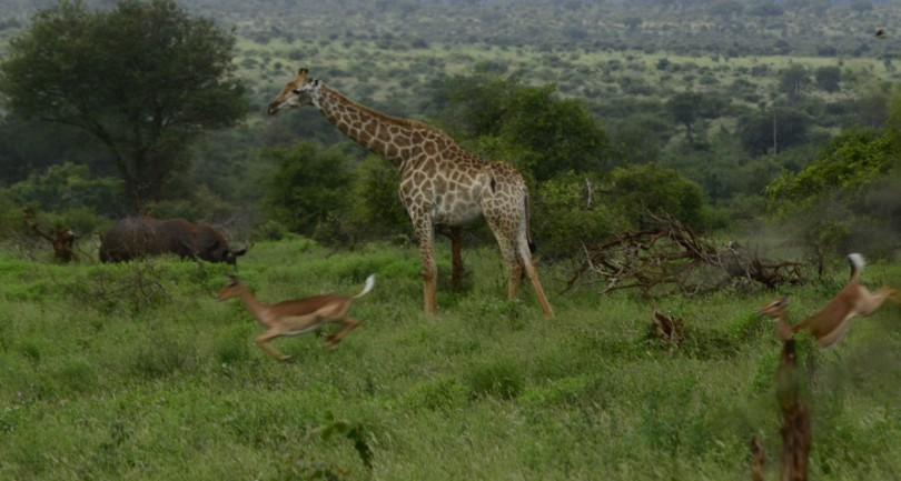 Rhino's Giraffes and Leaping Impala
