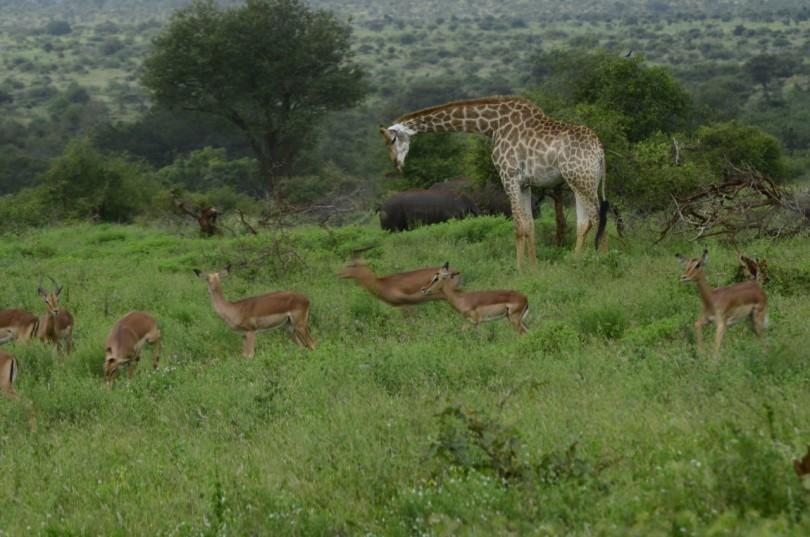White rhino, giraffe, impala