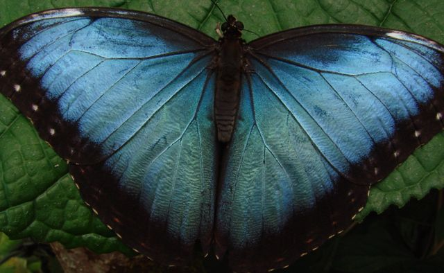 Blue Morpho, Costa Rica