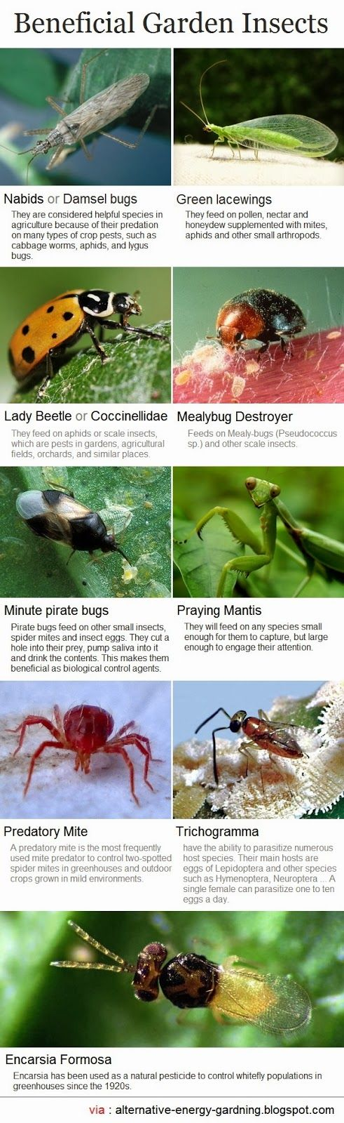 Beneficial Insects Infographic