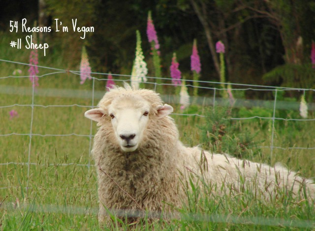 54 Reasons I'm Vegan - sheep