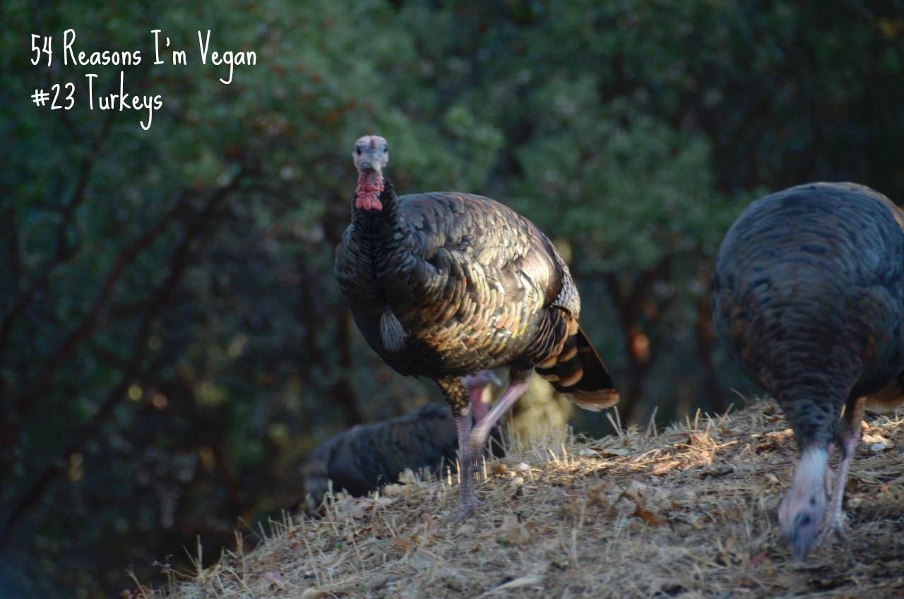 54-reasons-im-vegan_23-turkeys