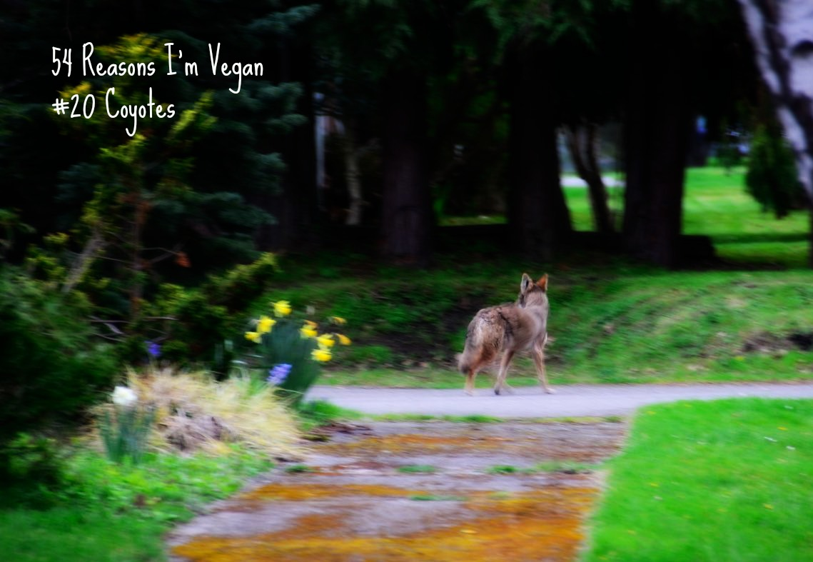 54 Reasons I'm Vegan: Coyotes and Wolves