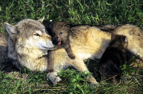 Gray-Wolf-with-Cubs-photo